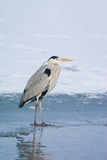 Grey Heron standing in the snow, a cold winter day Stock Photos
