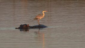 Grey heron standing on a submerged hippo