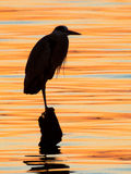 Grey heron standing on the sunset lake Royalty Free Stock Image