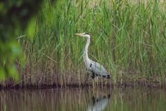 Grey heron are standing in a tall grass near water stock image