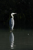 Grey heron standing in water Stock Photo