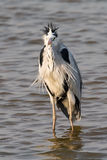 Grey Heron standing in water. Under wind Stock Photography