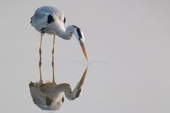 Grey Heron standing in water. Looking for food Royalty Free Stock Photography