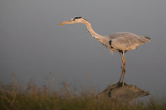 Grey Heron standing in water. For hunting Royalty Free Stock Image