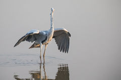 Grey Heron standing in water. With open wings Royalty Free Stock Photography