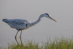 Grey Heron standing in water. For hunting Stock Photo