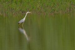 Grey heron standing in the water - Ardea cinerea royalty free stock photo