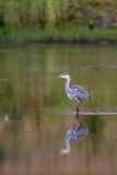 Grey Heron standing in water with reflection. A young Grey Heron (Ardea ciinerea) standing in water with a blurred green natural background and refllection, UK Stock Photography