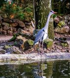 Grey heron standing at the water side waiting for fish, beautiful portrait of a common Dutch bird. A Grey heron standing at the water side waiting for fish royalty free stock images