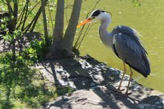 The Grey Heron is standing on the waterfront. royalty free stock photos