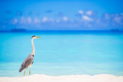 Grey heron standing on white beach on tropical Royalty Free Stock Photo