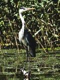 Grey Heron. Standingin the midle of Tisza To Lakes Stock Photos