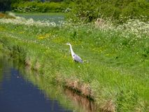 Grey heron looks for prey Royalty Free Stock Images