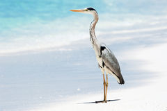 Grey Heron stands on the beach near the sea Royalty Free Stock Photo