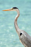 Grey Heron stands on the beach near the sea Royalty Free Stock Image