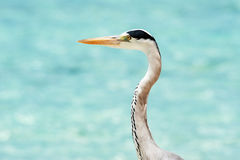 Grey Heron stands on the beach near the sea Royalty Free Stock Photography