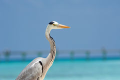 Grey Heron stands on the beach near the sea Stock Image