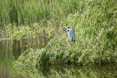Grey heron stands at the pond in the reeds stock photo