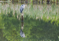 Grey Heron. A Grey Heron stands on a post in the water like a sentry as it watches for its next meal swimming passed royalty free stock photo