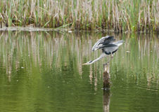 Grey Heron. A Grey Heron stands on a post in the water like a sentry as it watches for its next meal swimming passed royalty free stock images