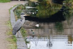 Grey Heron stands by the Royal Canal in Dublin Ireland, canal is polluted royalty free stock photography