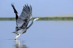 Grey Heron-Start mit aufgerichteten Flügeln Stockfotos