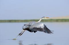 Grey Heron-Start mit unten beflügelt Lizenzfreie Stockfotos