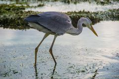Grey heron stay in water, maldives, close up Stock Image