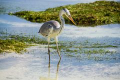 Grey heron stay in water, maldives. Photo of Grey heron stay in water, maldives Stock Image