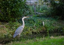 Grey heron staying next to canal. stock images