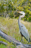 Grey Heron with Stick Royalty Free Stock Images