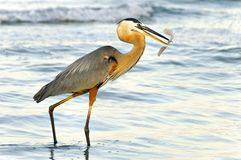 Grey Heron and Stingray Stock Photos
