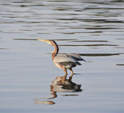 Grey heron stood in a river Stock Image