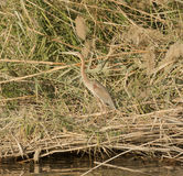 Grey heron stood on a river bank Stock Photos