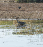 Grey Heron stood on a riverbank Stock Photo