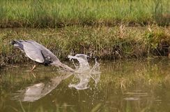 Grey Heron striking for a fish Royalty Free Stock Image