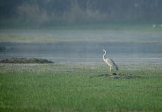 Grey Heron in sultanpur bird sanctuary Royalty Free Stock Photography