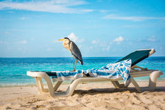 Grey Heron on a sun lounger Royalty Free Stock Photography