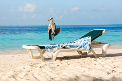 Grey Heron on a sun lounger Royalty Free Stock Images