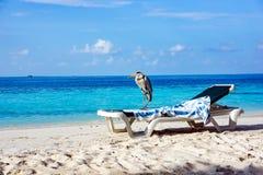 Grey Heron on a sun lounger Royalty Free Stock Image