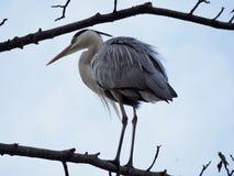 Grey Heron sur l'arbre images libres de droits