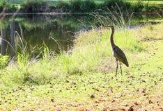 Grey Heron Surveys son étang Photos stock