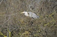 Grey Heron in the swamp Stock Photos