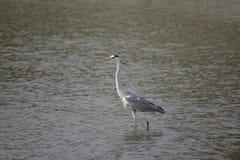 Grey heron (Taiwan migratory birds ). Stock Photos