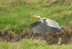 Grey Heron take off (Ardea cinera) Royalty Free Stock Photography