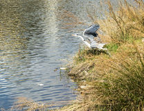 Grey heron taking flight Stock Photo