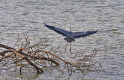 Grey heron. Taking flight from the land Royalty Free Stock Photo