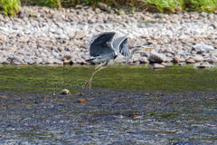 Grey heron taking flight Stock Photos