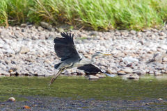 Grey heron taking flight Stock Images