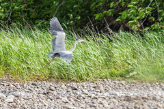 Grey heron taking flight Royalty Free Stock Images